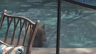 Bear Lounges in Swimming Pool