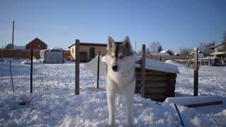 Husky asks to play with him