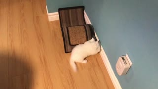 Persian kitties playing together - Video