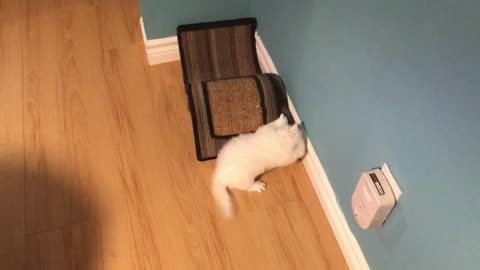 Persian kitties playing together