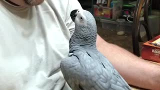 African grey kisses - Video