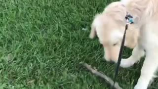 Golden Playing With Stick OutSide
