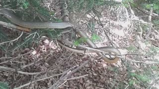 Snake encounter (Coluber gemonensis)