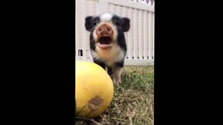 Mini pig eating squash adorably