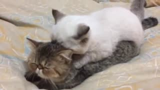 Pair of kittens engage in adorable massage session