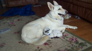White German Shepherd cuddles baby goat - Video