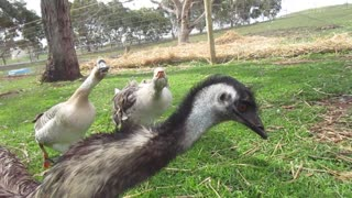 Geese not happy about intruding Emu - Video