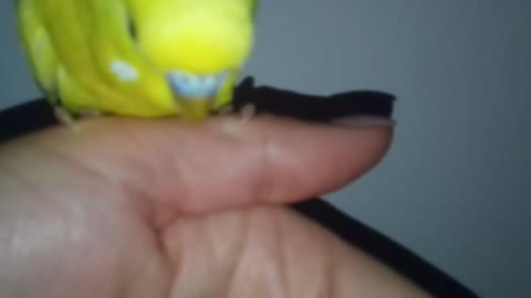 Yellow hand-made budgerigar sits on a hand