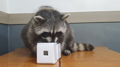 Raccoon finds snacks in his toys and eats them.