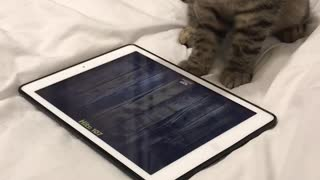 This kitten playing with a tablet is going for the new high score!