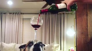 Dog balances wine glass on head