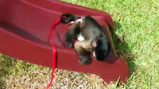 Capuchin monkey knows exactly how to use slide - Video