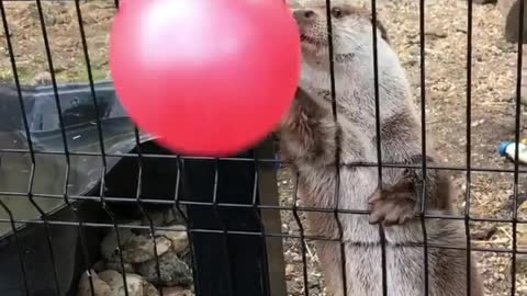 Cute otter plays with balloon at the zoo