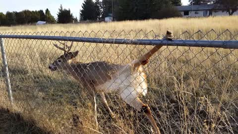 Rescuing a Deer From a Chain-Link Fence