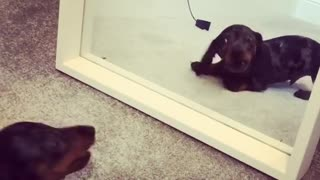 Dog Challenges His Reflection In A Mirror - Video