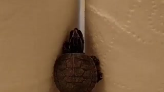 Turtle tries to climb - Video