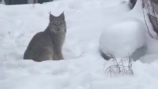 Indifferent Lynx Stare at Woman from Backyard