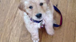 Carefree guilty puppy - Video