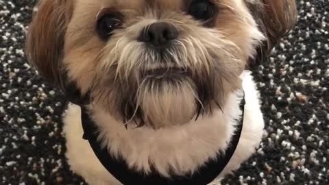 Shihtzu Missing his human friends