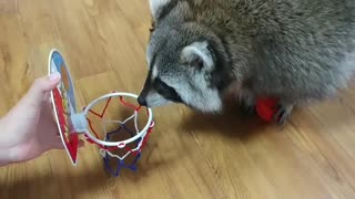 Pet raccoon slam dunks basketball in hoop - Video