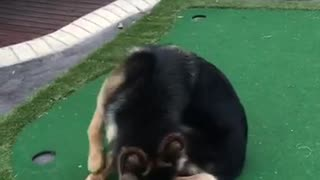 Black and brown german shepard chasing tail on golf course