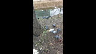 Greedy pigeon - Video