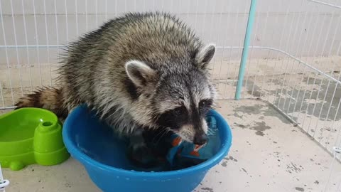 Tidy raccoon decides to do his own laundry