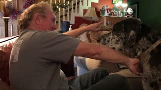 """""""Hangry"""" Great Dane demands dinner be served early"""