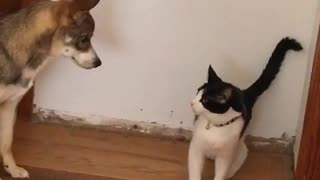 Black and white cat fighting with shiba