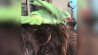 Parrot Decides To Take Bath In Woman's Hair