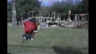 Angry Rooster Chases Little Boy Around The Farm
