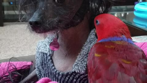 Ruby Doo the Parrot Preening Her Dog Friend Henry