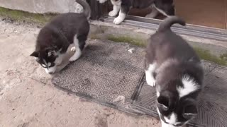Husky puppies first time on the street