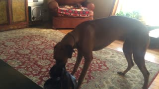 Funny Ridgeback Dog Is Startled By A Cat - Video