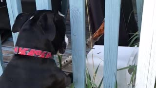 Pit Bull uses critical thinking to solve stick problem - Video