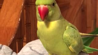 Intelligent parrot flawlessly answers his owner's questions