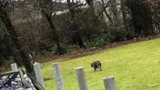 French bulldog herds pug just like sheep