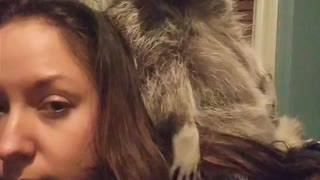 Raccoon Wipes Butt With Owners Hair  - Video