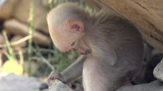 Baby snow monkey Cute animal