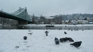 A group of pigeons and birds eat from the snow