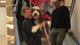 Sheepadoodle Valentine Birthday Surprise - Video