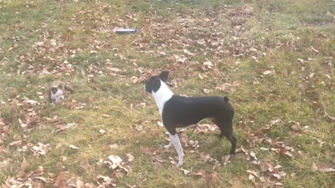 Boston Terrier extremely excited to be outside