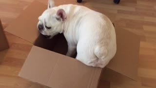 Cardboard box channels French Bulldog's inner cat