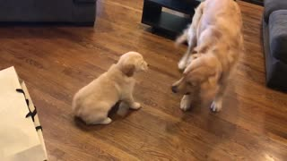 Excited Golden Retriever Meets His New Puppy Sister
