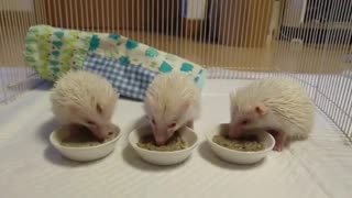 hedgehog eating food with family members