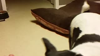 Slow motion white and black dog runs towards camera from bed with green tennis ball to give to owner - Video