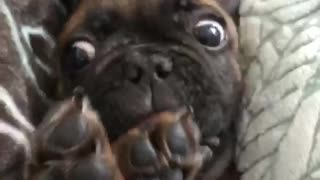 Brown french bull dog frenchie laying on back in bed cleaning itself - Video