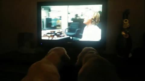 "Pair of Golden Retrievers can't stop watching ""Marley & Me"""