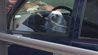 Tiny dog in car furiously paws at window - Video
