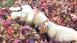 Husky puppy plays in her first ever pile of leaves